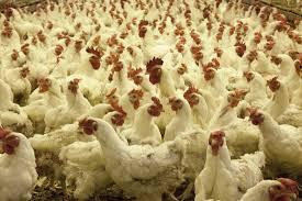 Bird flu in india जानिए बर्ड फ्लू क्यों फैलता है क्या है जांच निदान और उपचार